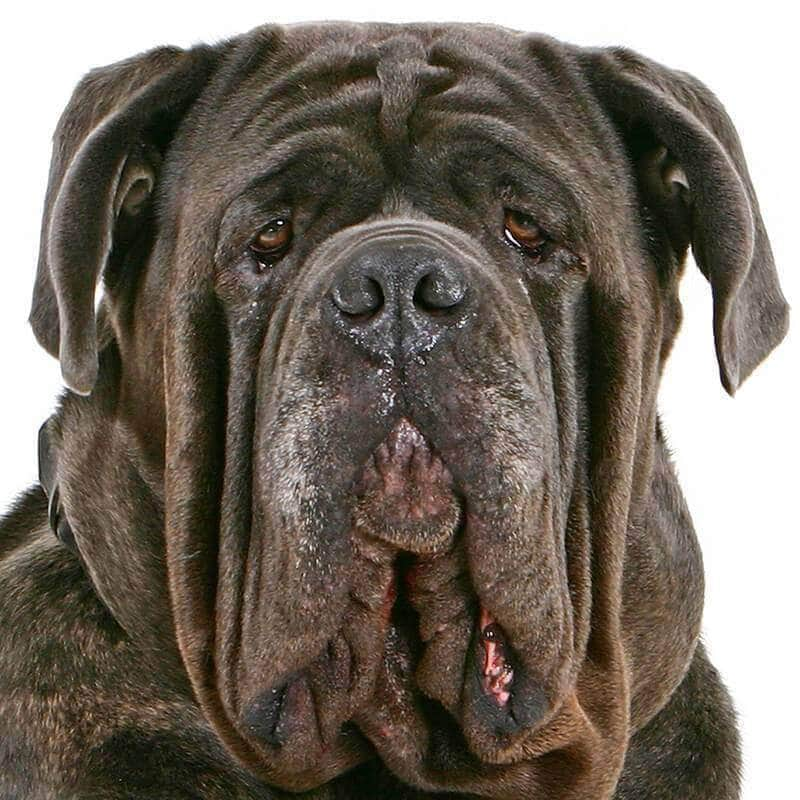 Neapolitan Mastiff Collection