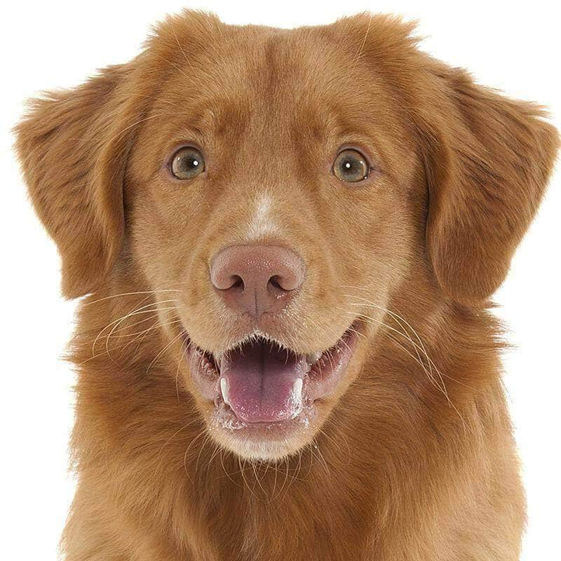 Nova Scotia Duck Tolling Retriever