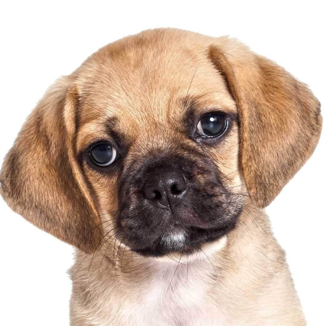 Puggle Collection