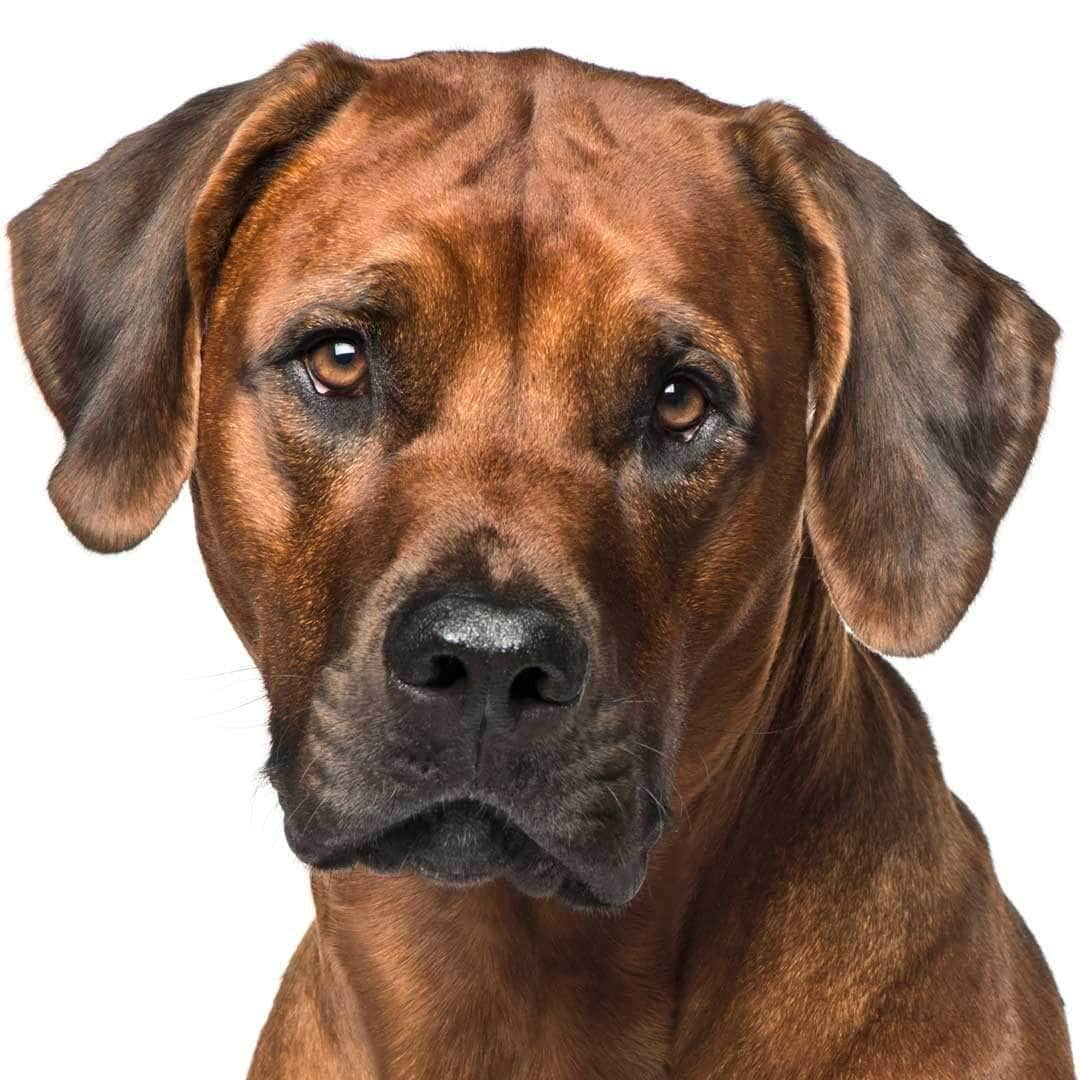 Rhodesian Ridgeback Collection