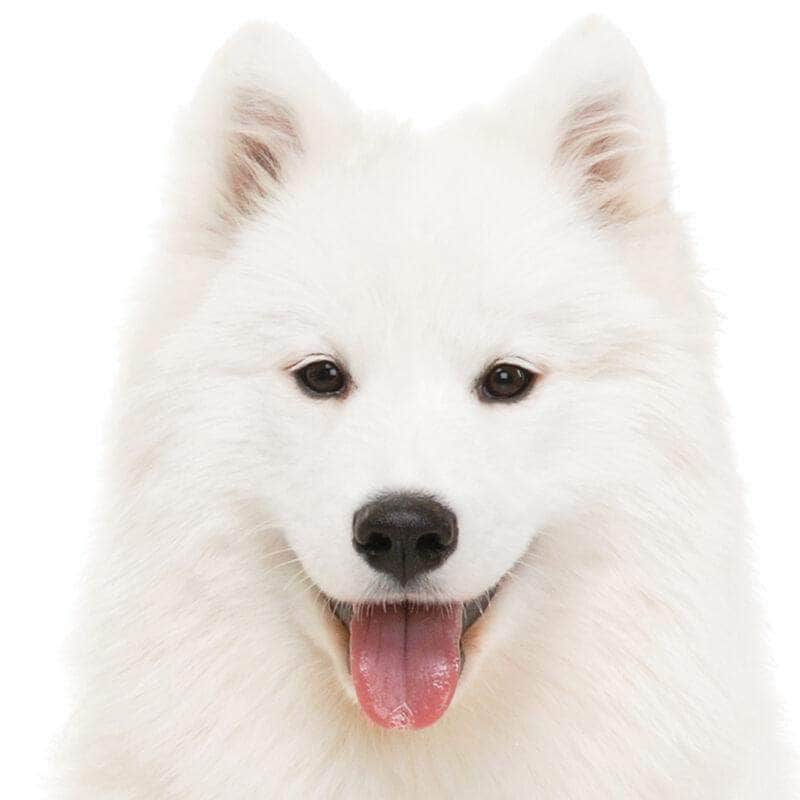 Samoyed Collection