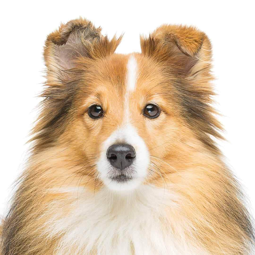 Shetland Sheepdog Collection