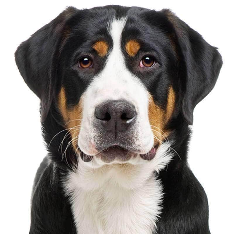 Greater Swiss Mountain Dog Collection