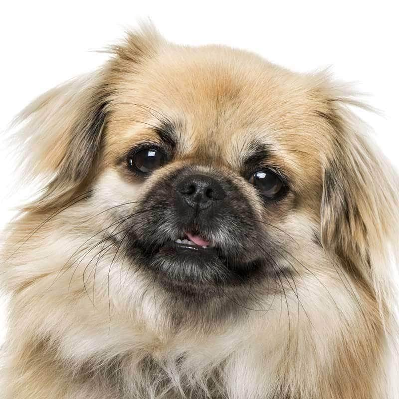 Tibetan Spaniel Collection