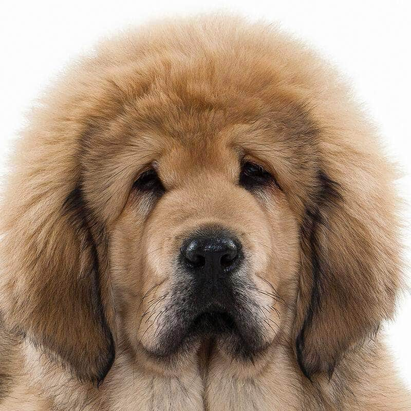 Tibetan Mastiff Collection