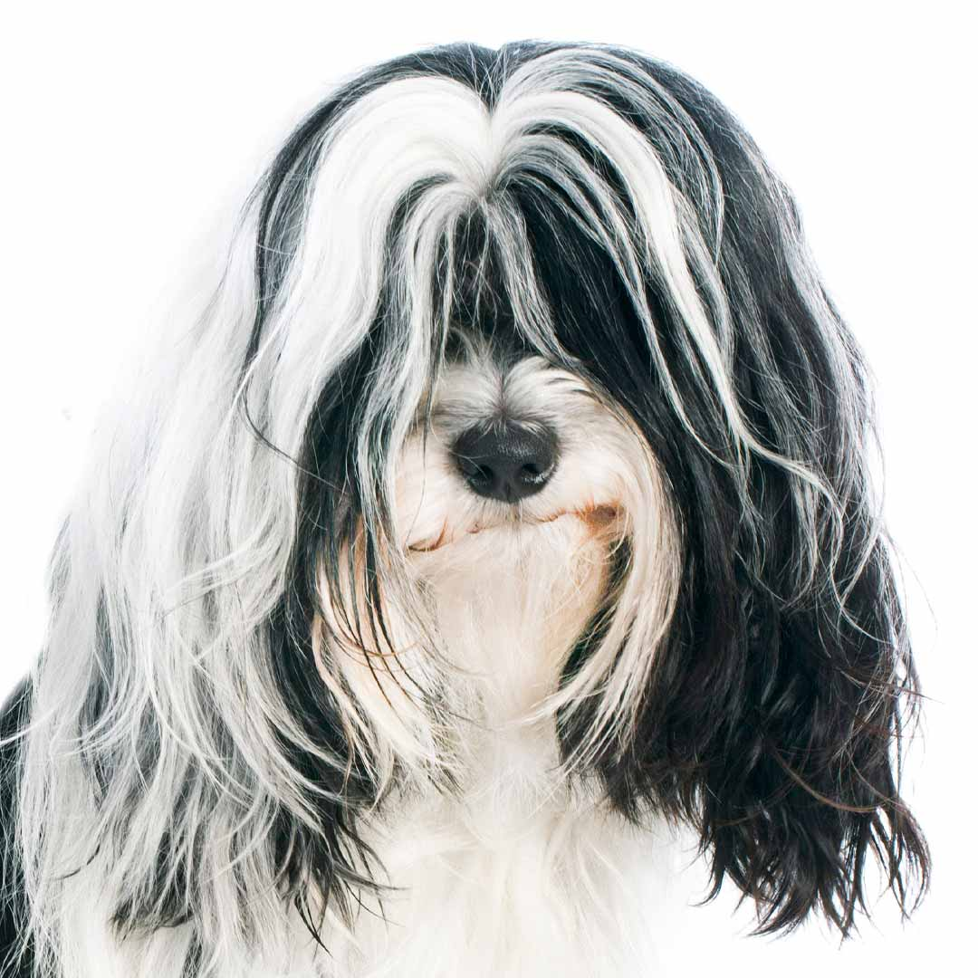 Tibetan Terrier Collection