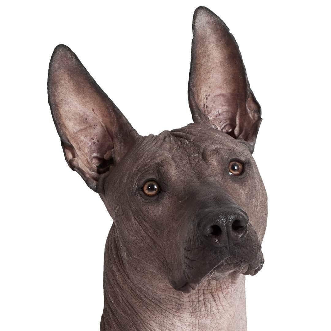 Xoloitzcuintli Collection