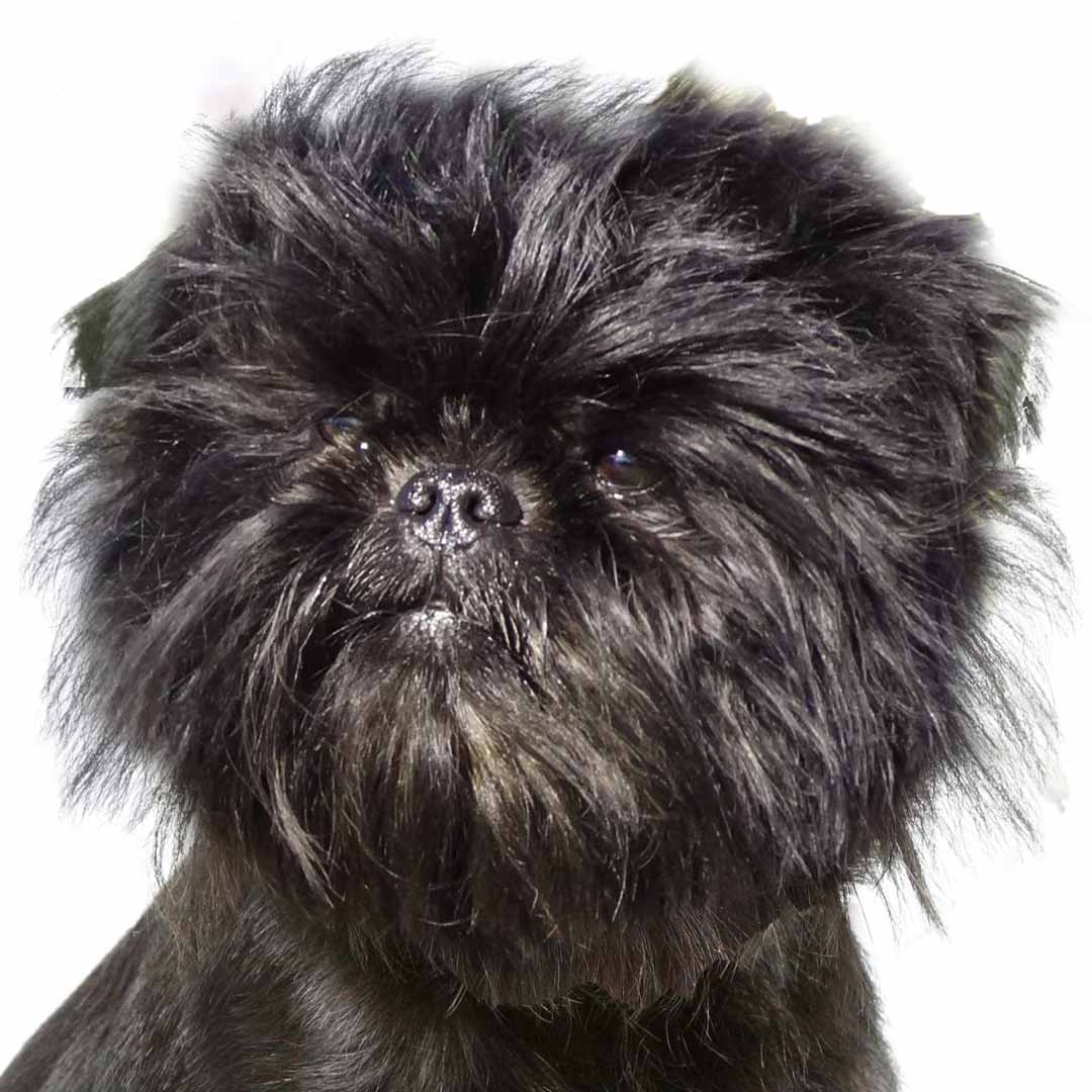 An Affenpinscher Collection