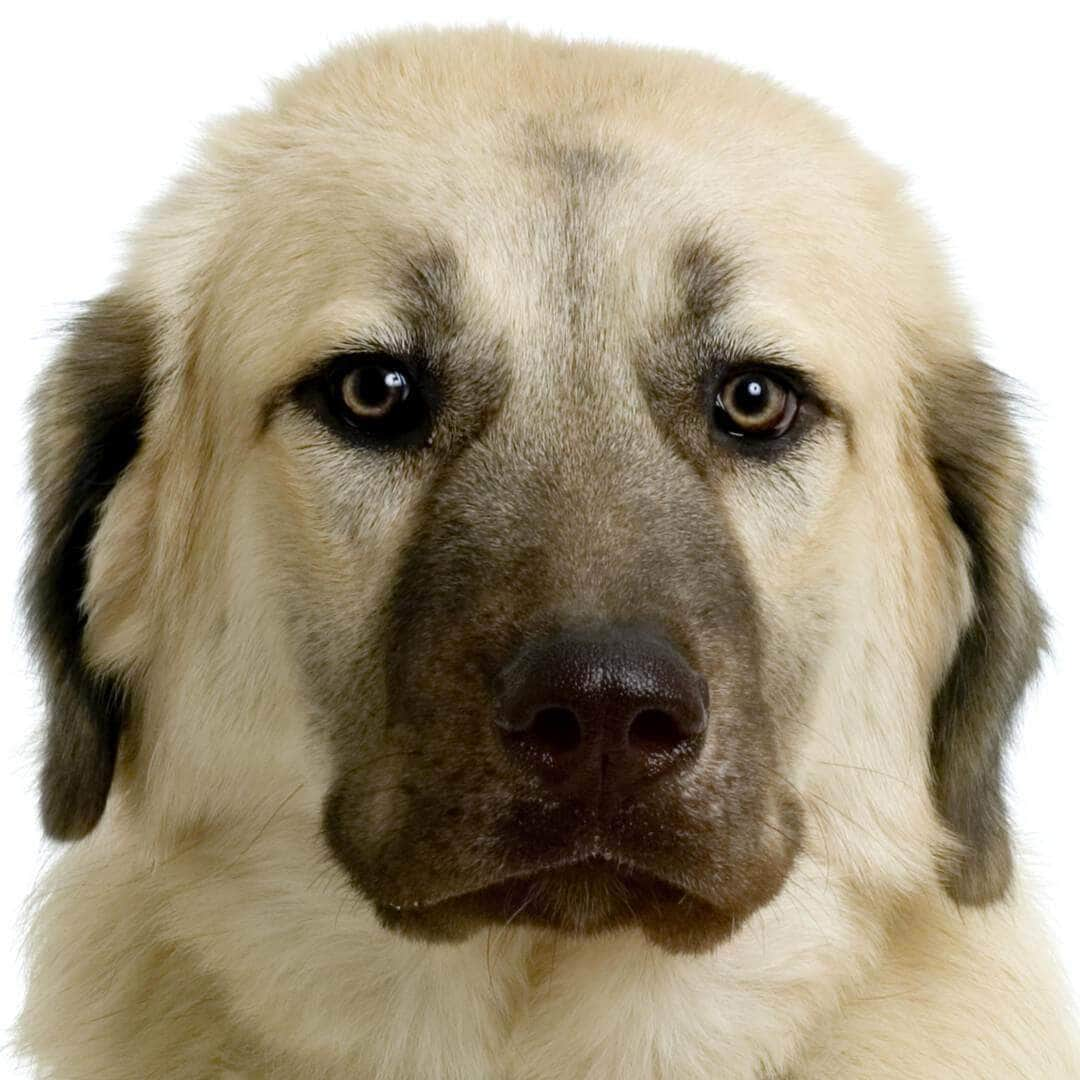 Anatolian Shepherd Collection