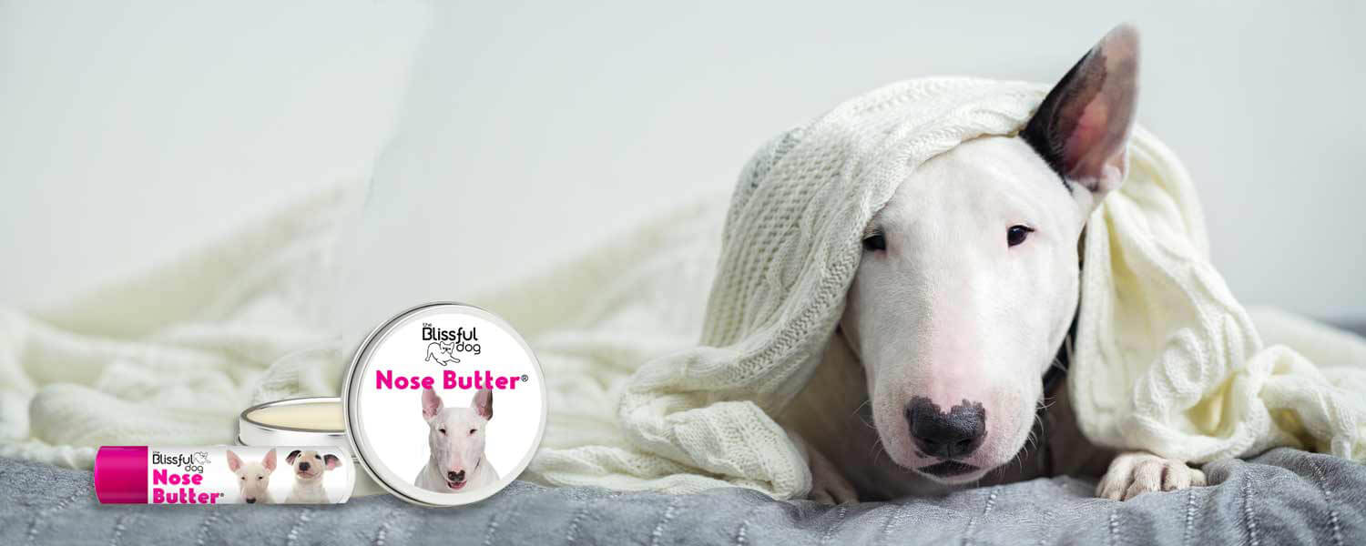 bull terrier dog in bed