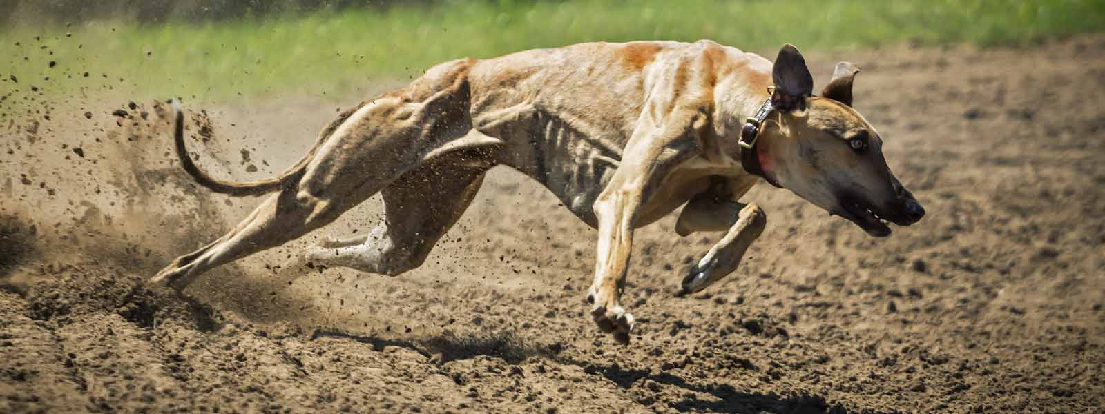 greyhound running fast