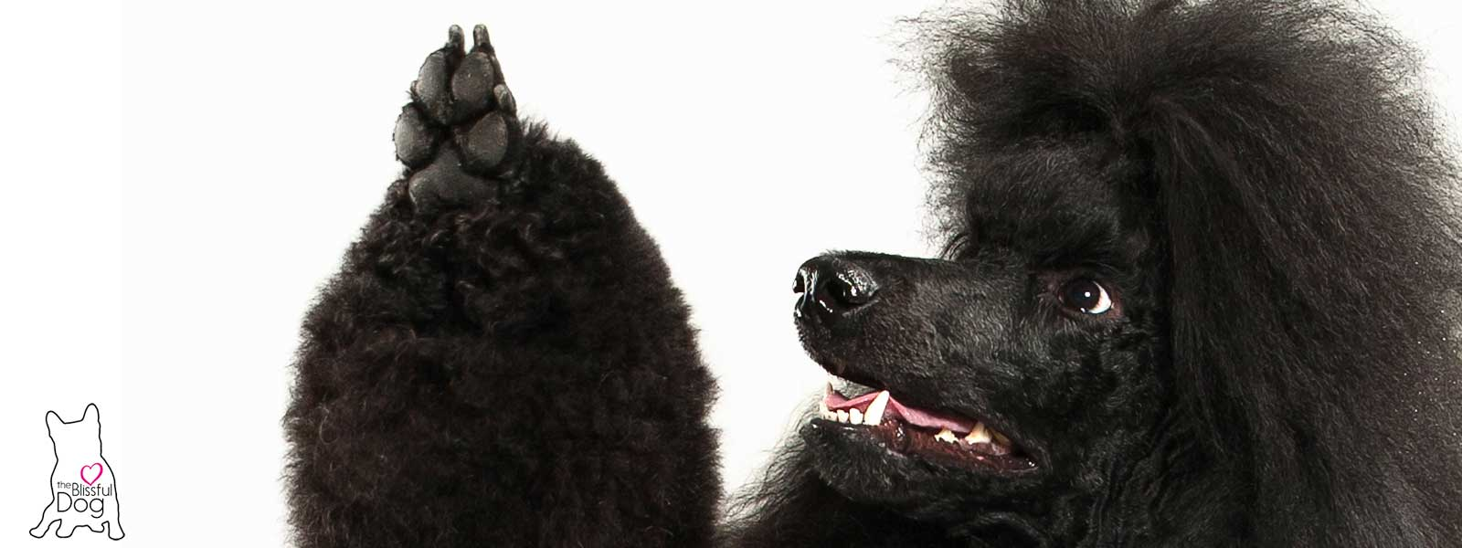 black poodle waving