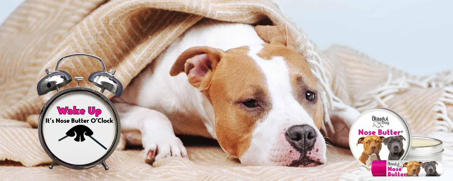 american Staffordshire terrier in bed