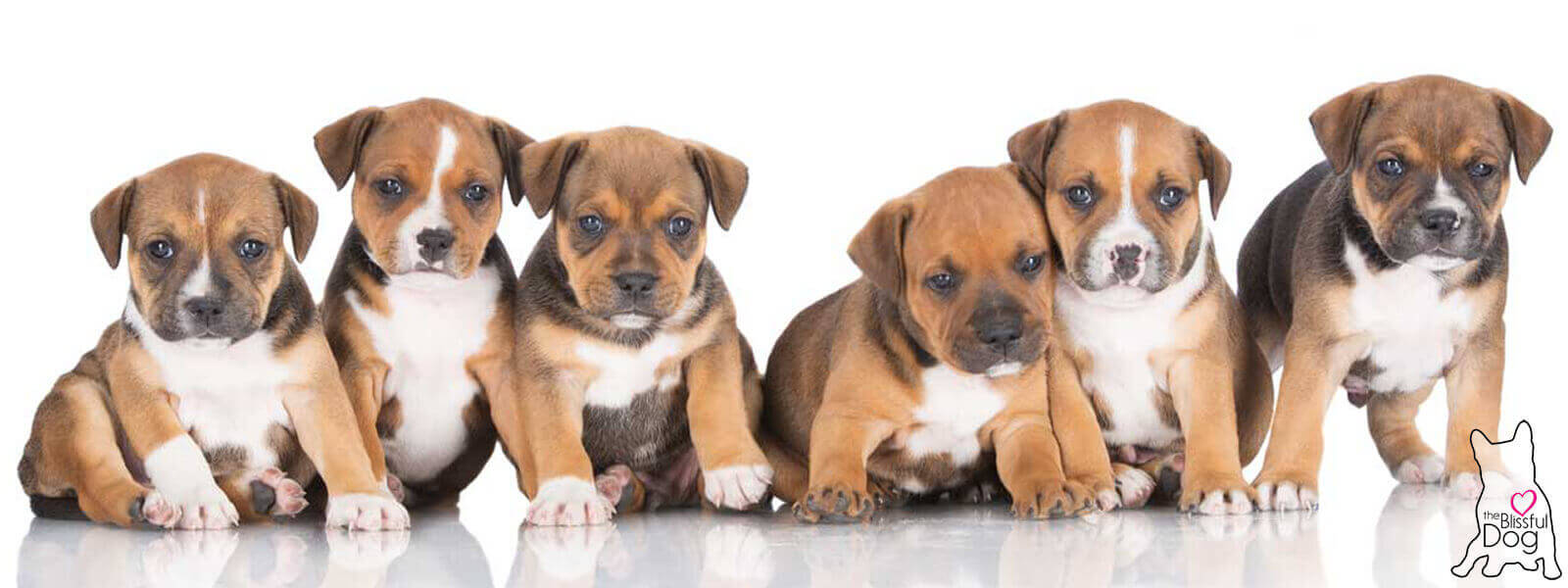 american staffordshire puppies