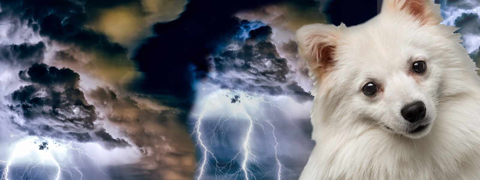 american eskimo dog afraid thunder