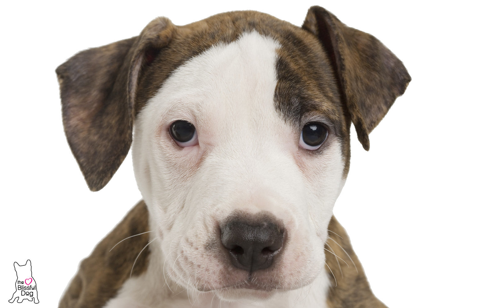 american-staffordshire-terrier-puppy