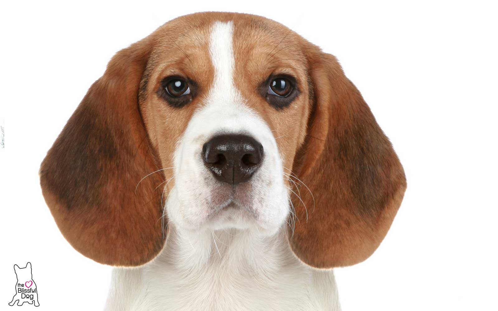 Beagle Nose Problems