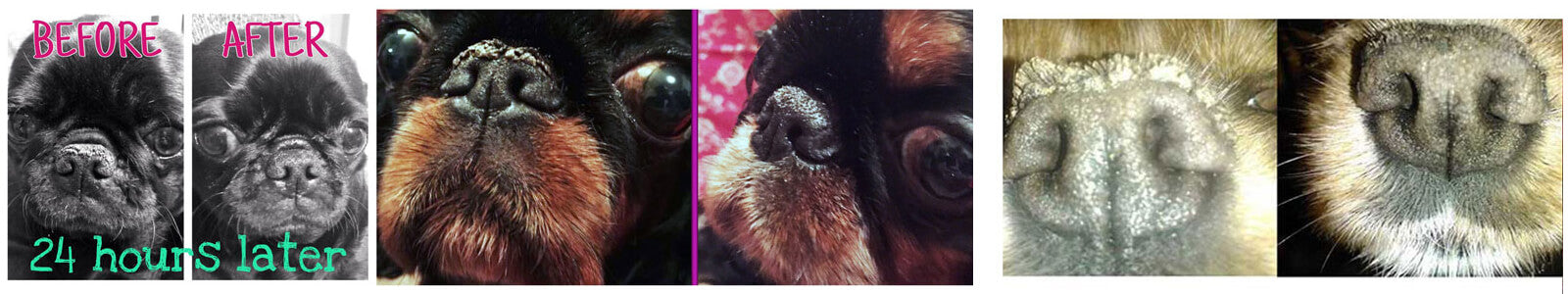 before after nose butter english toy spaniel