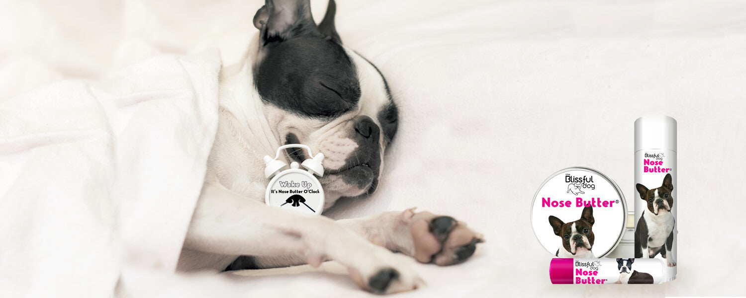 boston terrier sleeping in bed