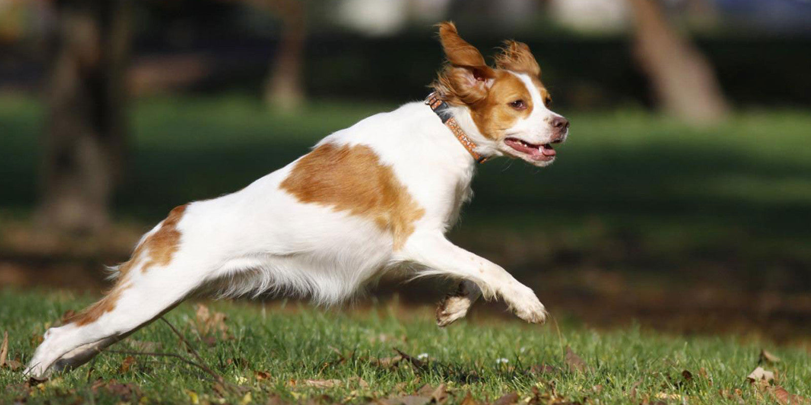Brittany-Spaniel-jumping