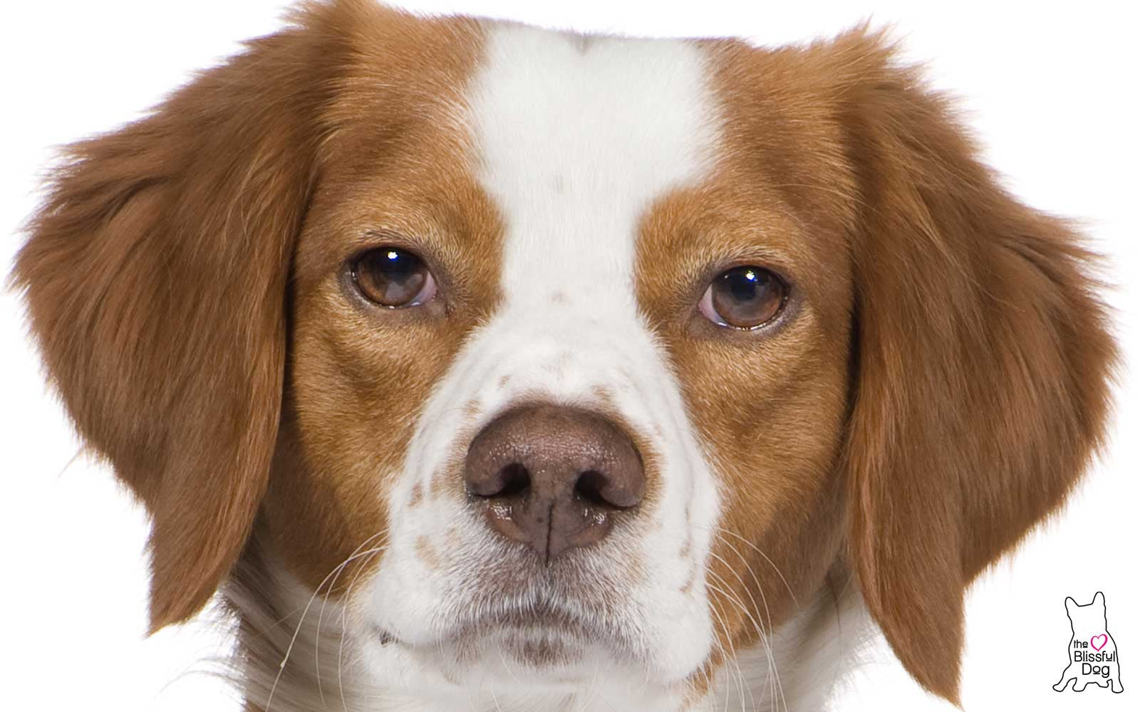 BRITTANY SPANIEL NOSE
