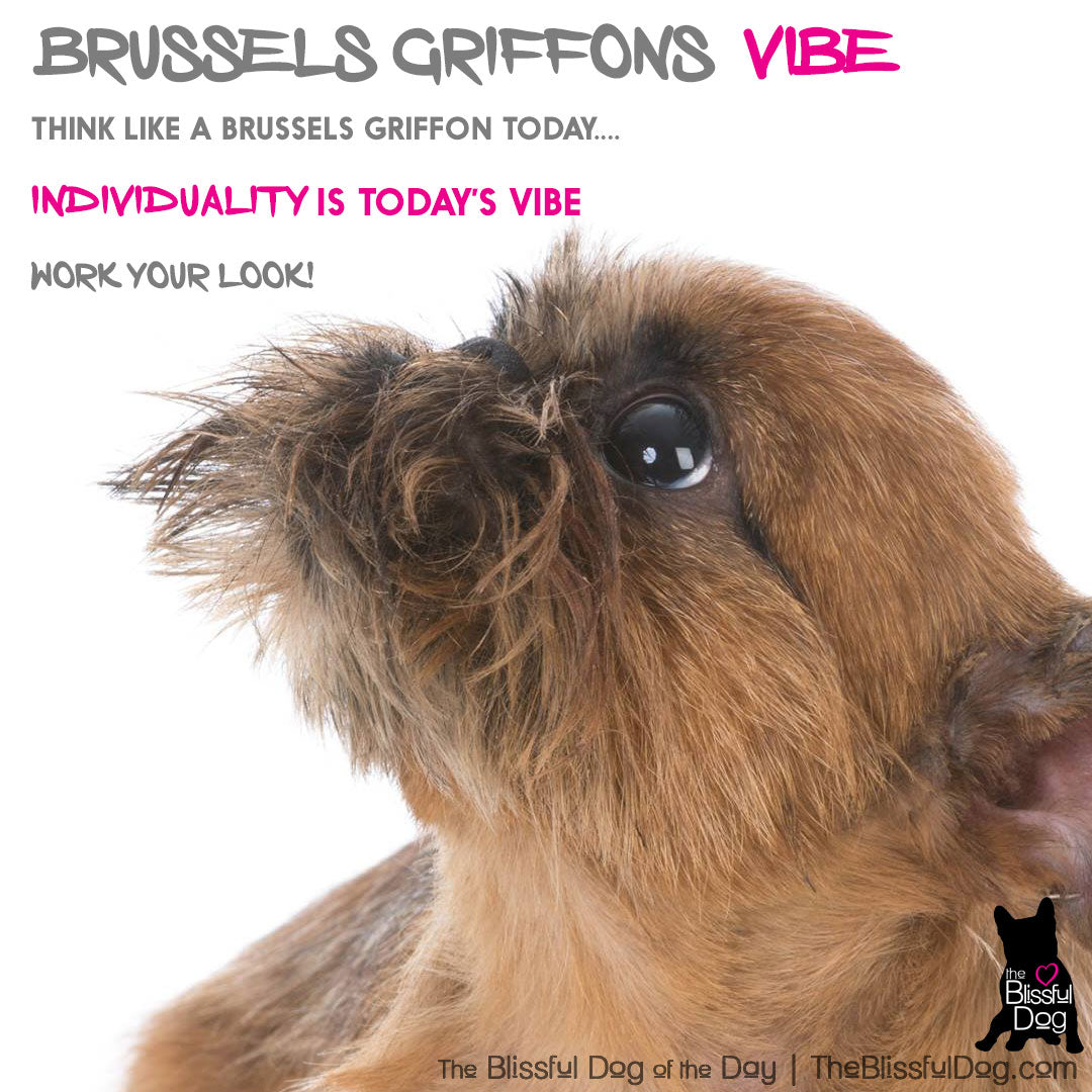 Brussels Griffon vibe