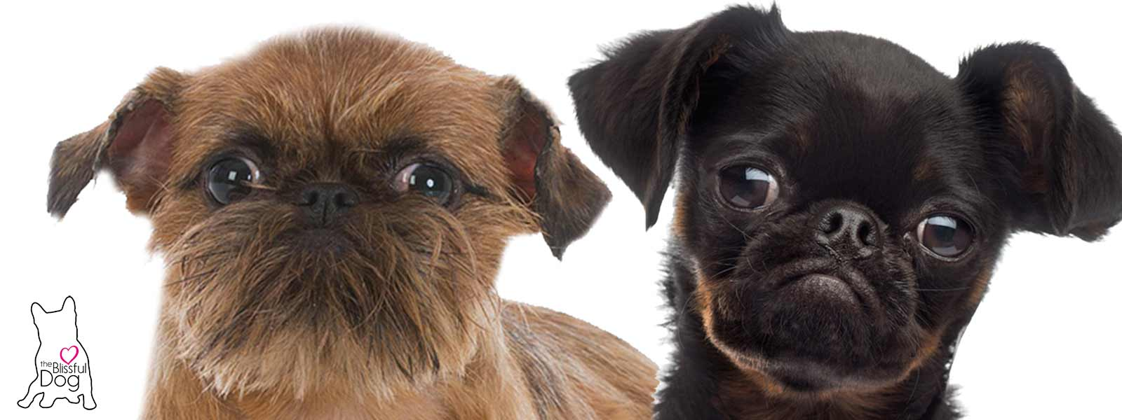 shop the blissful dog brussels griffon collection for your griffon