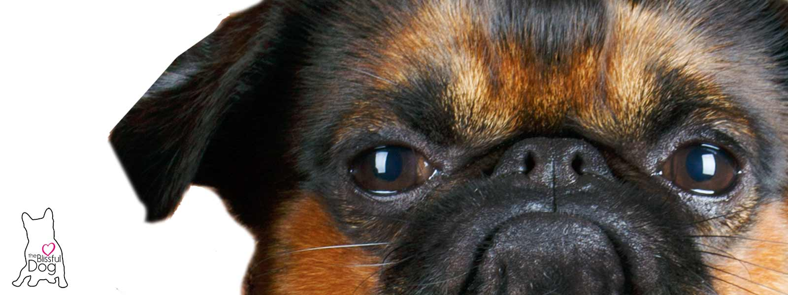 smooth brussels griffon face