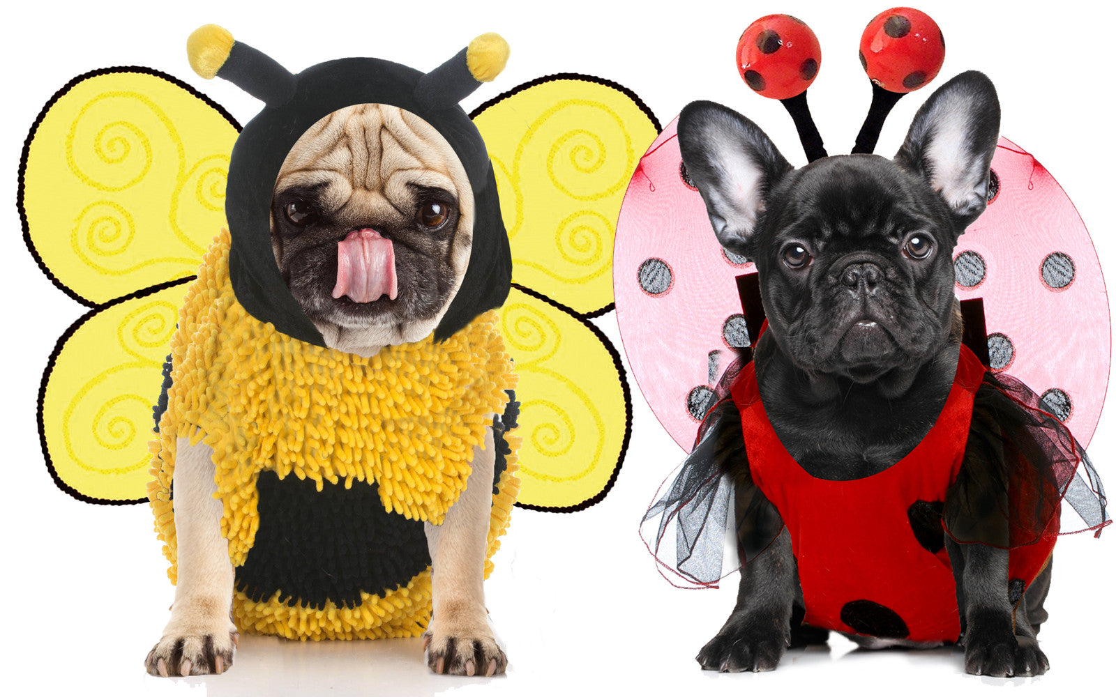 FRENCH BULLDOG INSECT REPELLANT