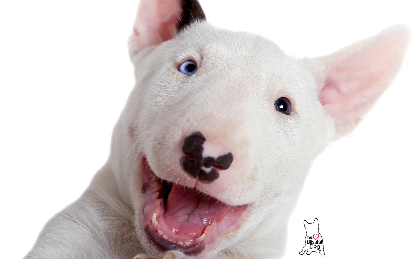 Image result for bull terrier puppies