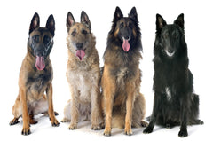 Belgian Shepherd Types