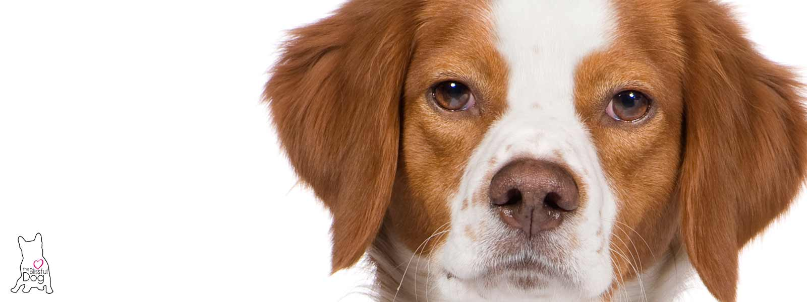 brittany spaniel dry nose