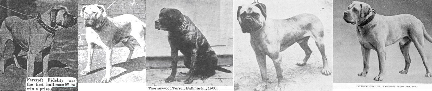 early bullmastiffs