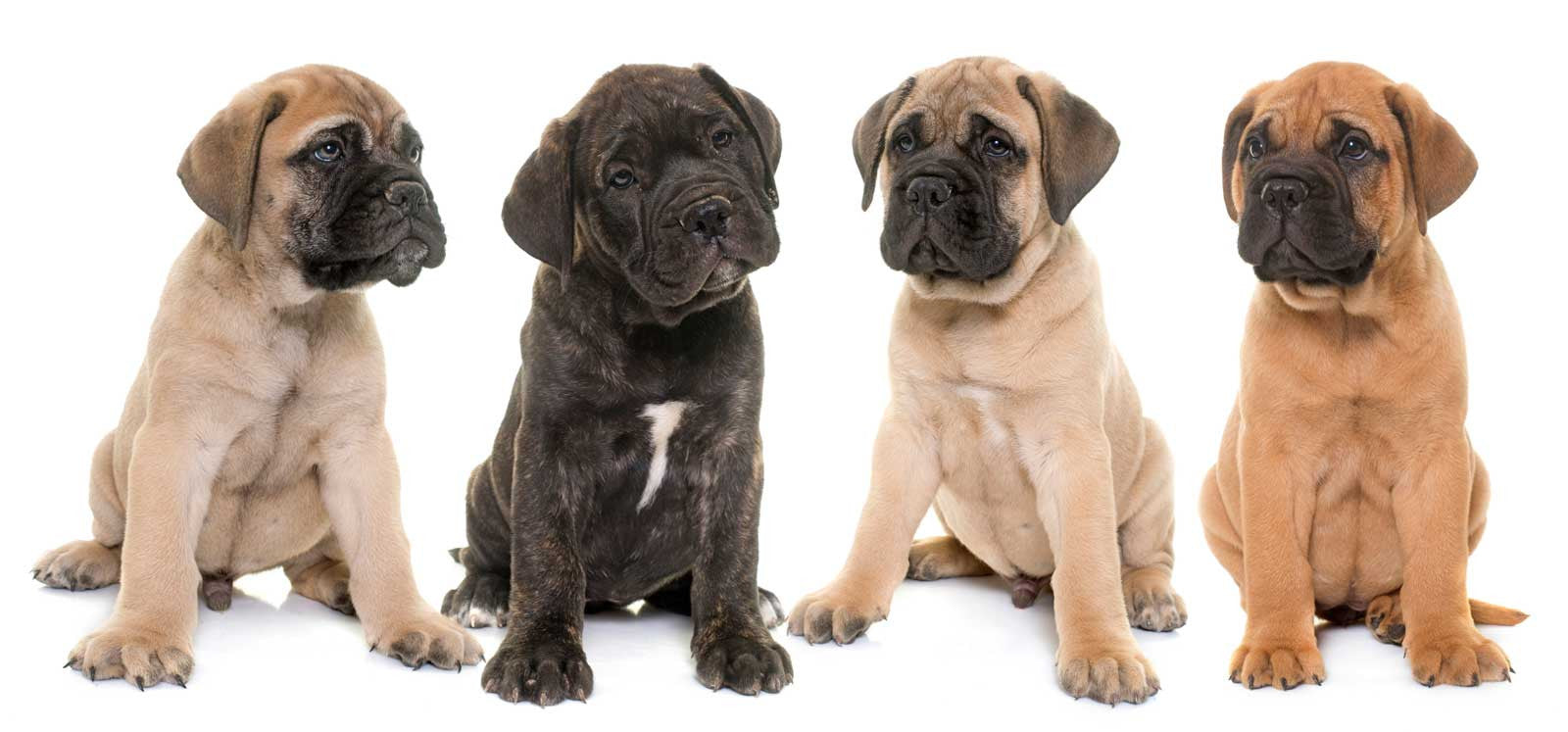 The Blissful Dog Bullmastiff Collection Shop From Nose To Toes