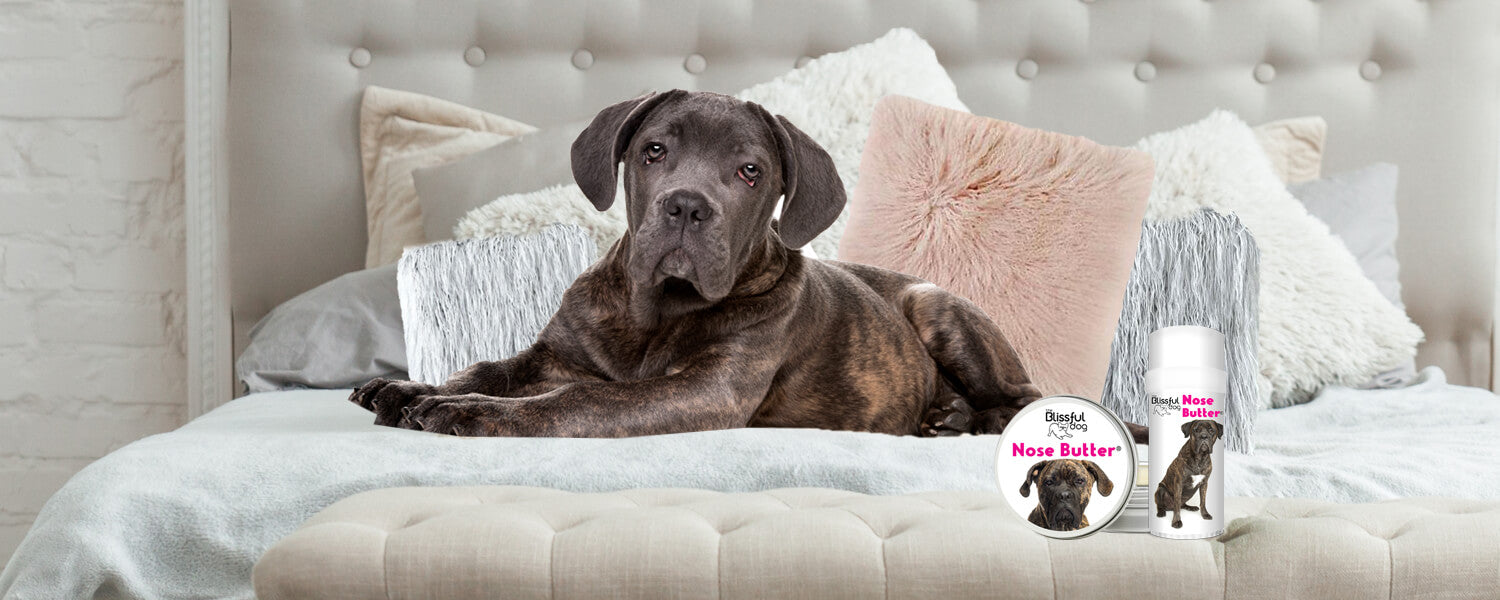 cane corso on bed
