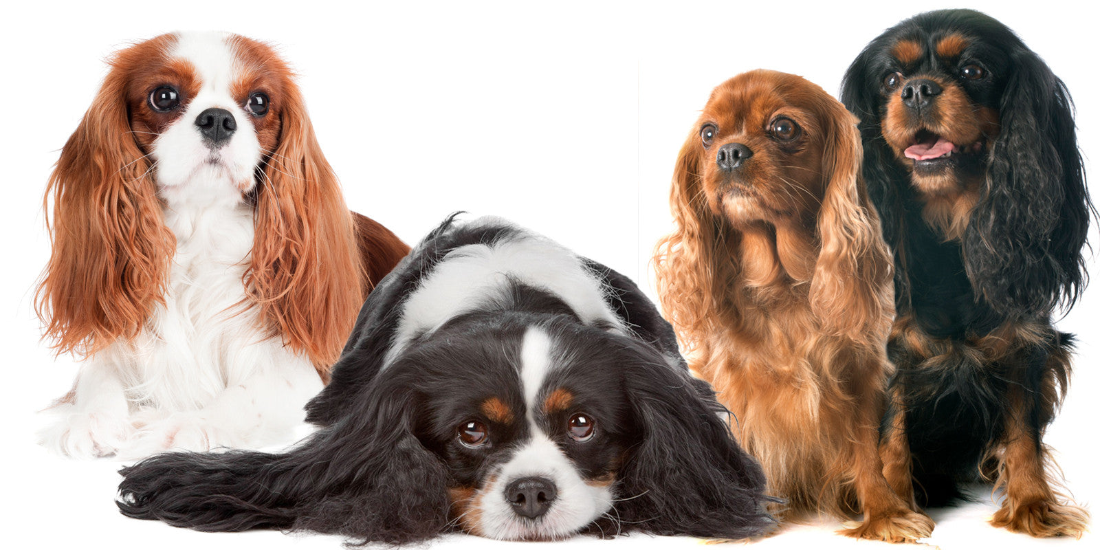 cavalier king charles spaniels gift combos