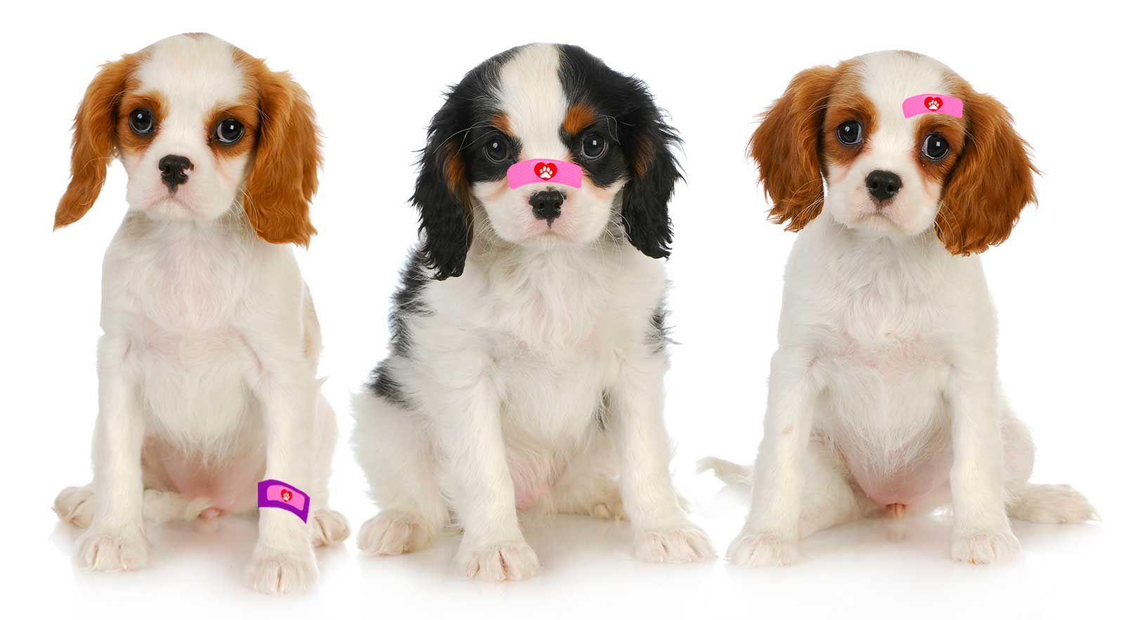 CAVALIER KING CHARLES SPANIEL BOO BOO BUTTER FOR NATURAL ...