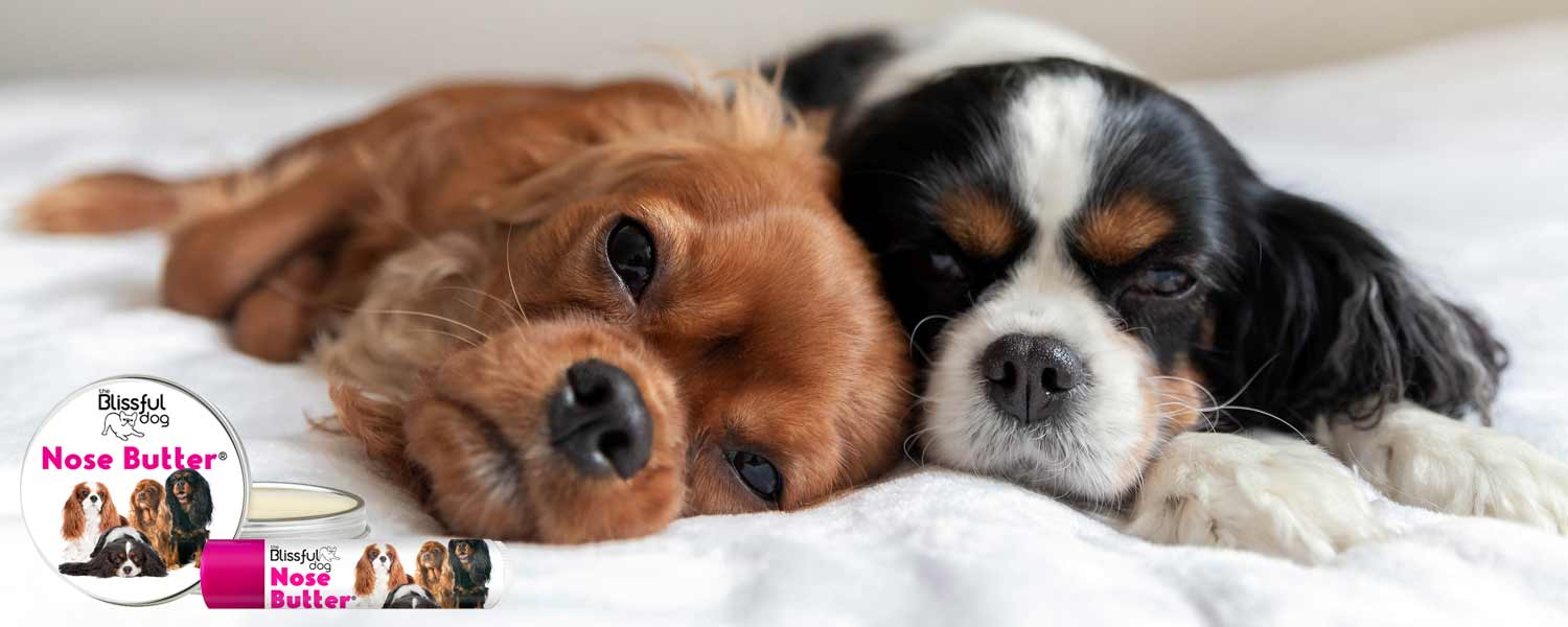 Cavalier Puppies in bed