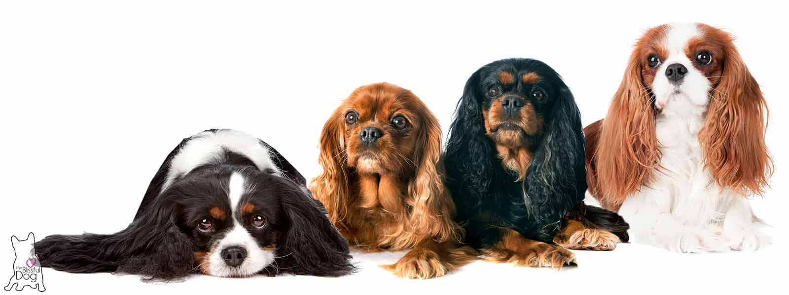 Shop the blissful dog cavalier king charles spaniel collection cavalier king charles spaniel thecheapjerseys Images