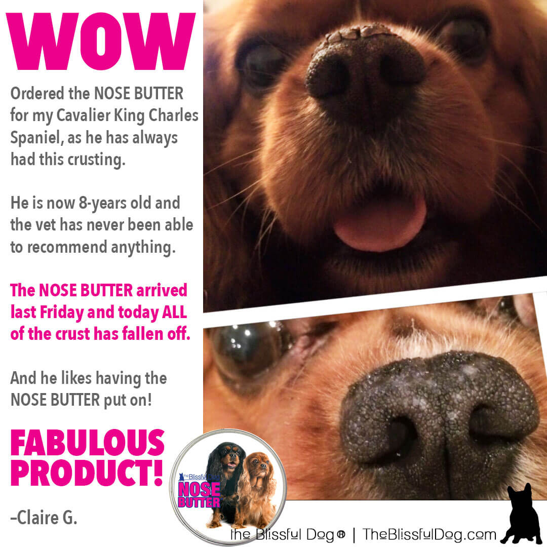 cavalier king charles spaniel before after nose butter