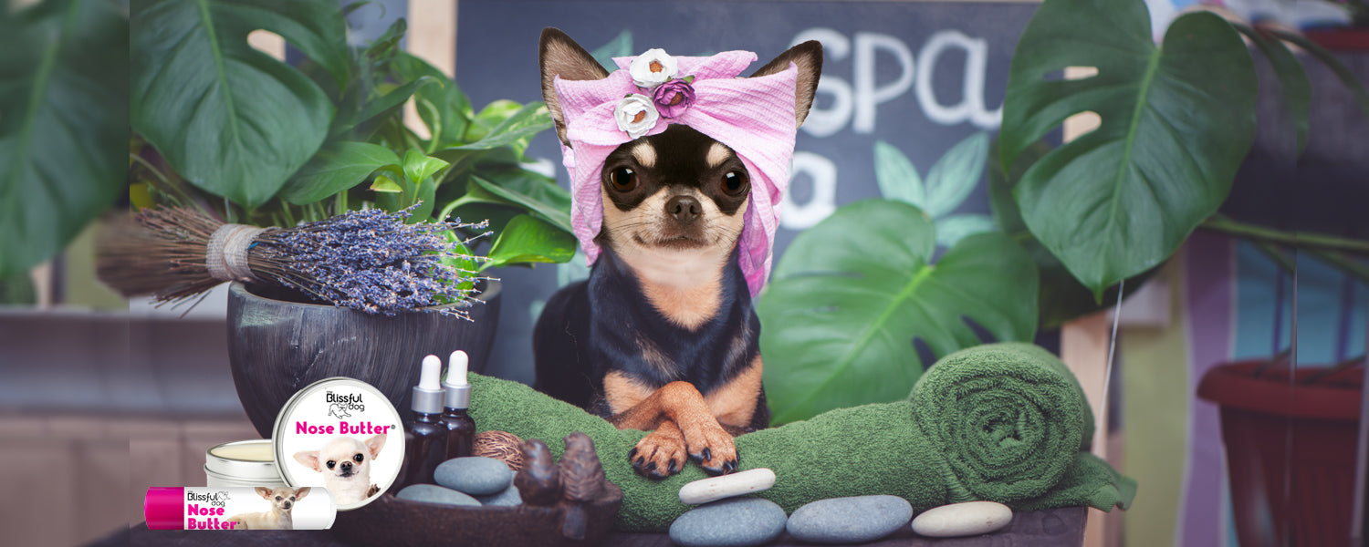 Chihuahua at spa