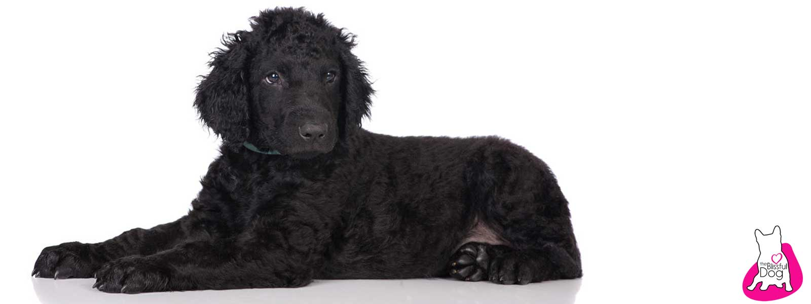 curly-coated retriever care