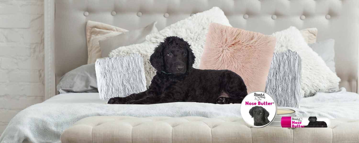 curly coated retriever in bed