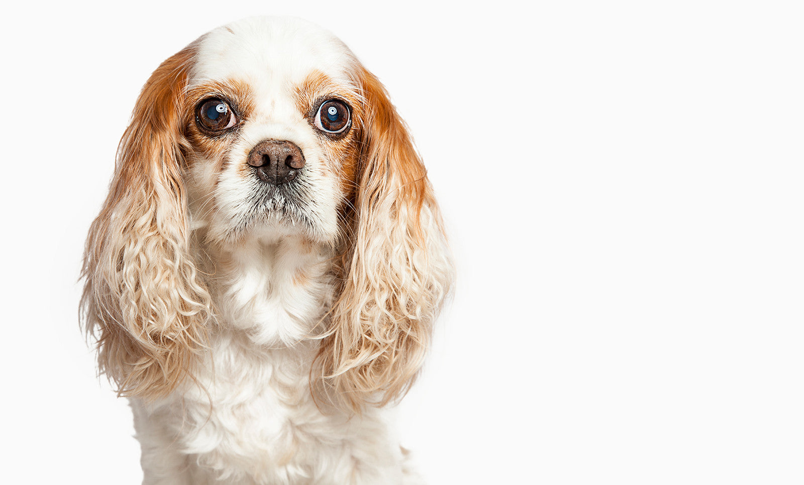 SENIOR CARE FOR CAVALIER KING CHARLES SPANIEL
