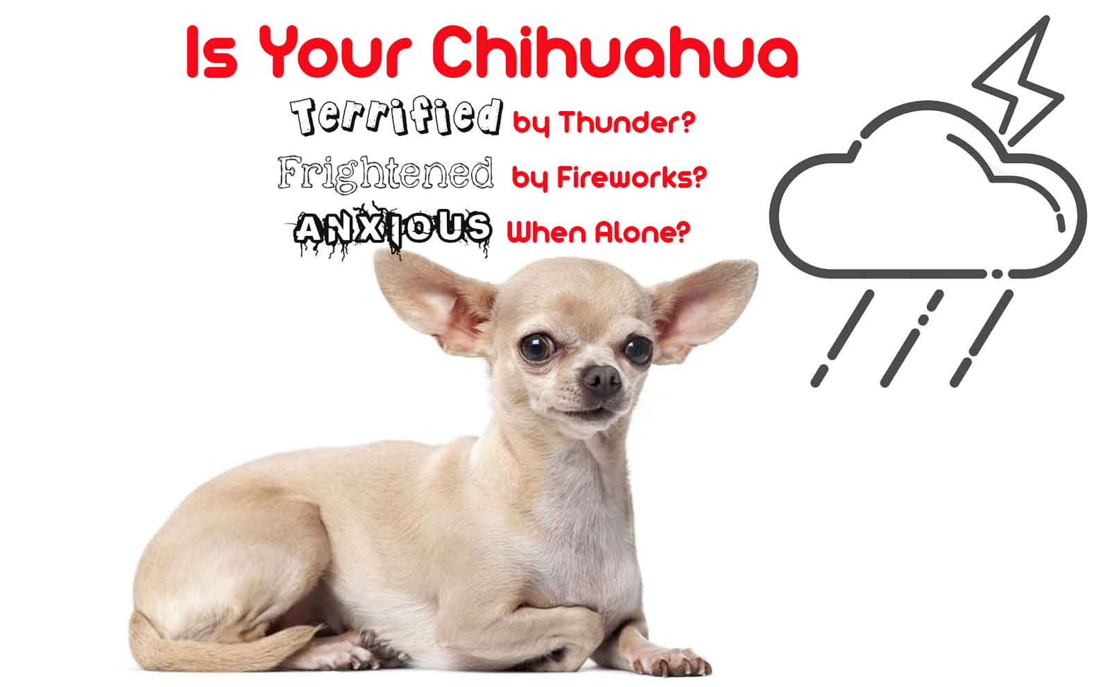 chihuahua anxiety