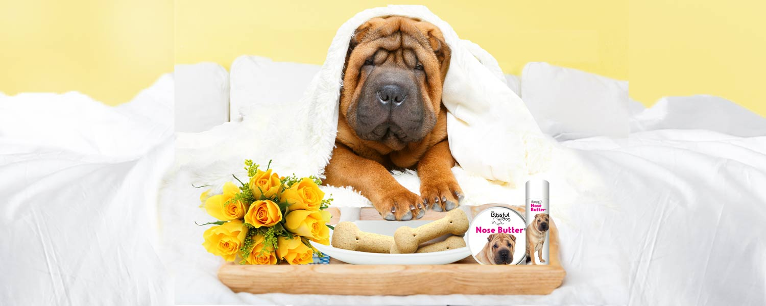 Chinese-Shar-Pei-breakfast-in-bed
