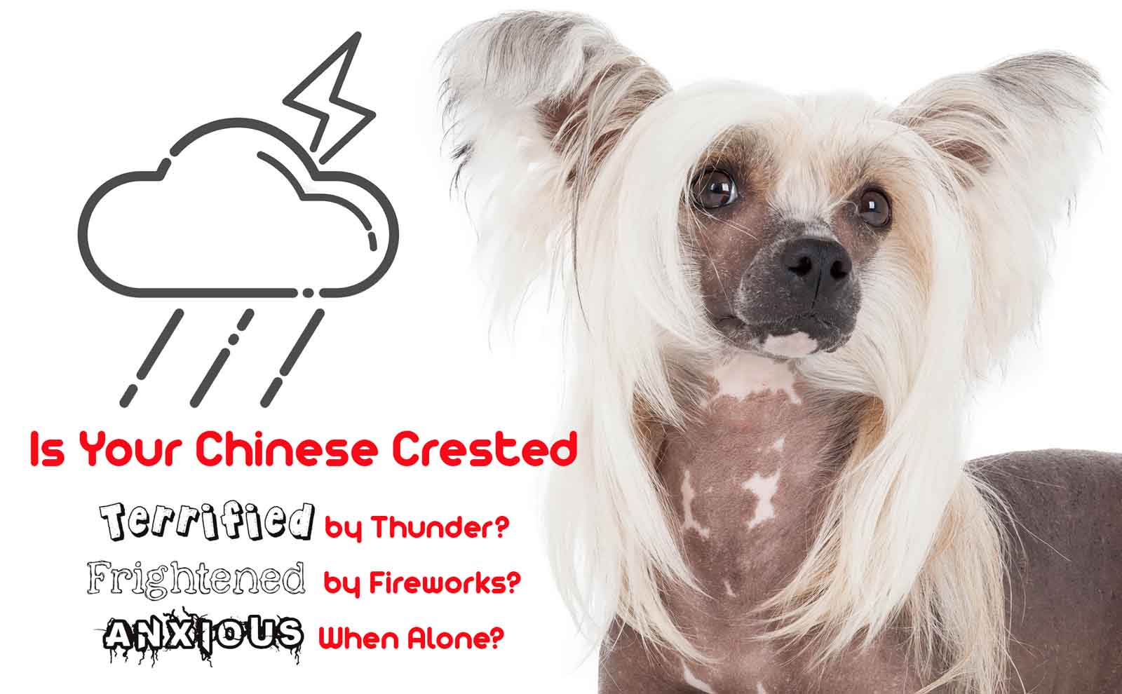 chinese crested nervous