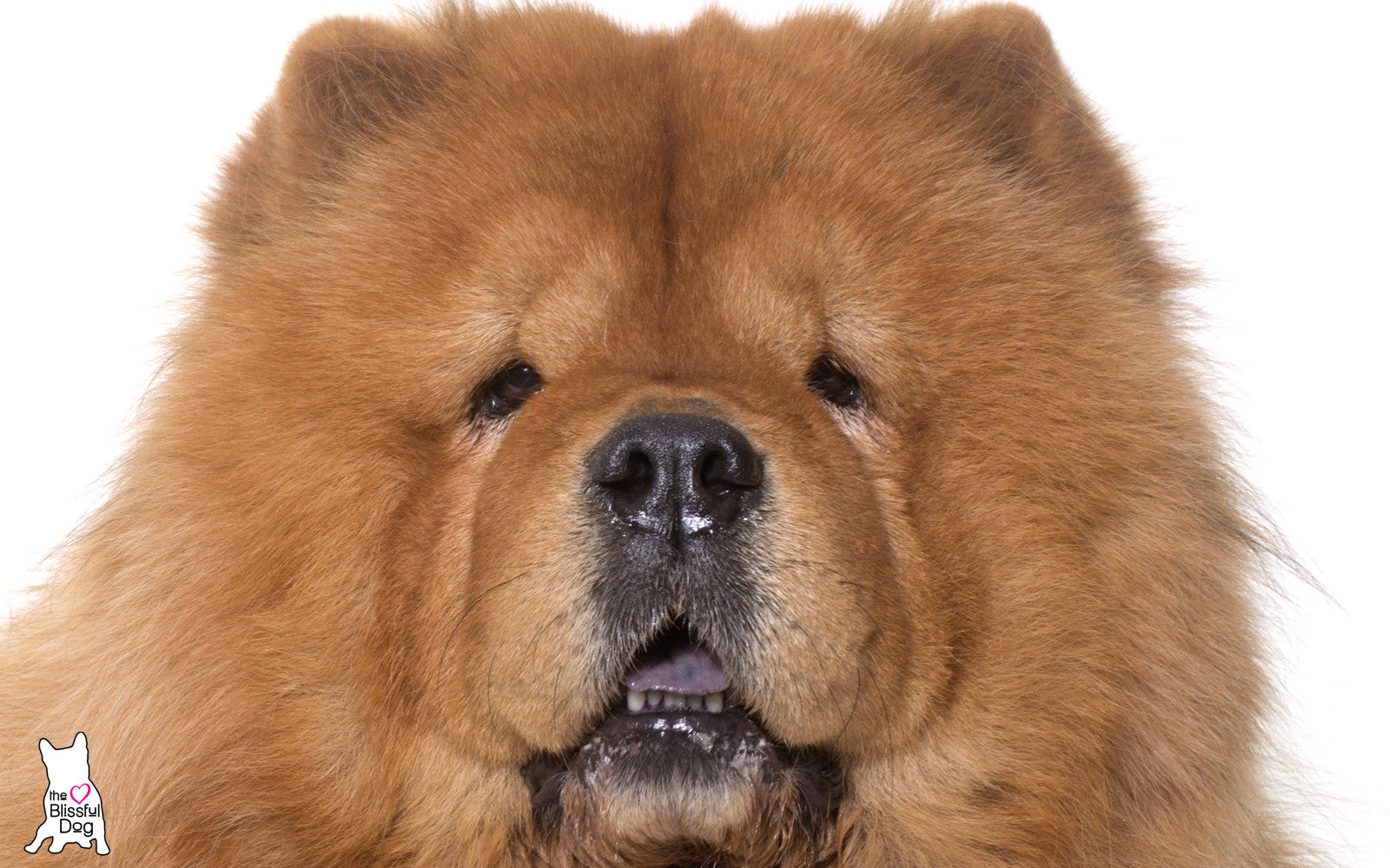 CHOW CHOW RED DOG