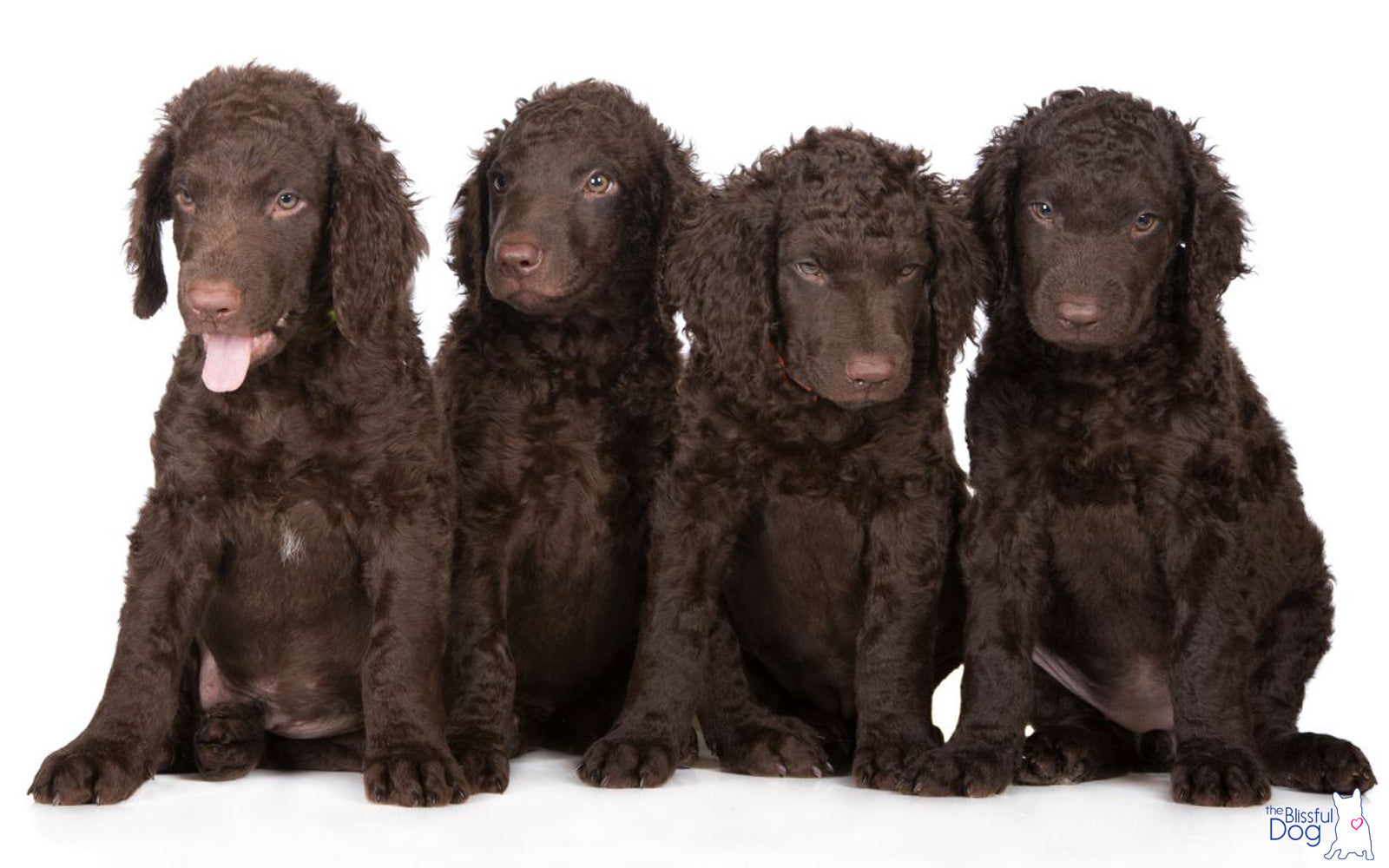 CURLY-COATED RETRIEVER PUPPIES