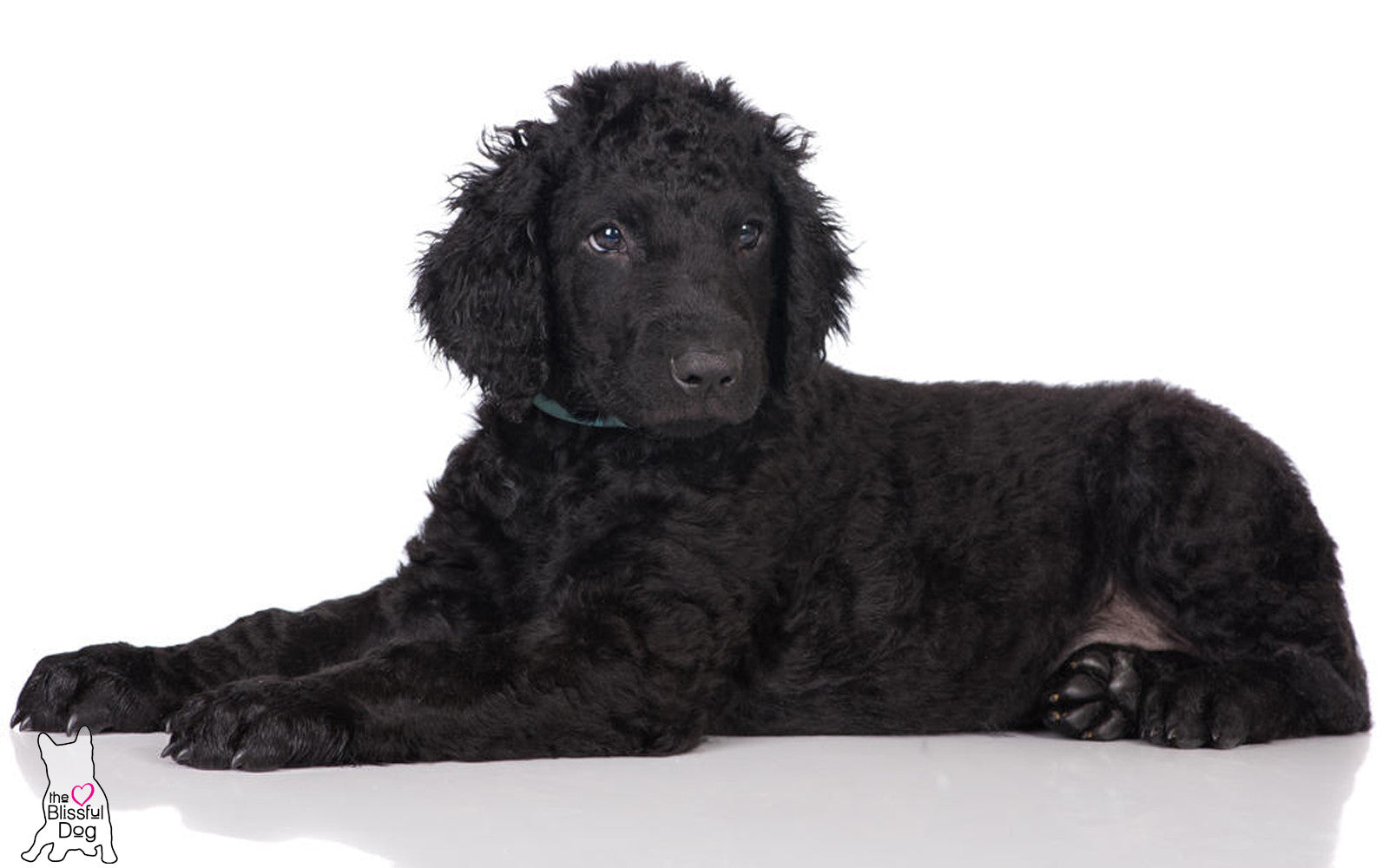 curly-coated retriever puppy